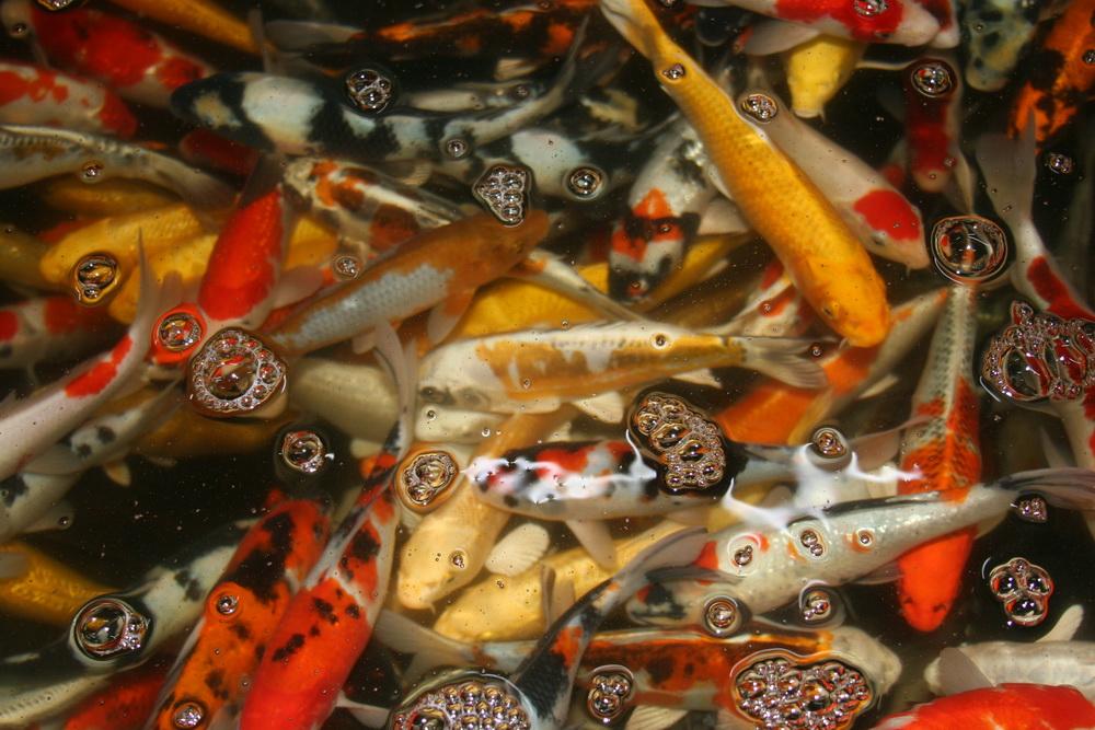 Koifarm straeten die sch nsten koi goldfische st re for Fischfutter goldfische teich