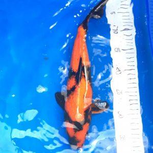 Hi Utsuri Koi 35-40 cm