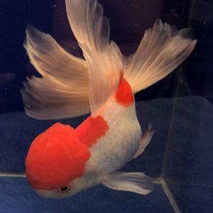 Oranda - Schleierschwanz Goldfisch
