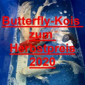 Butterfly-Kois Herbstpreise 2020
