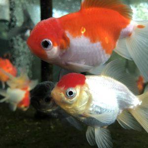 Goldfisch Schleierschwanz